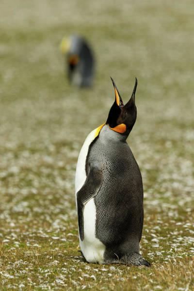 Wall Art - Photograph - King Penguin Calling, Volunteer Point by Adam Jones