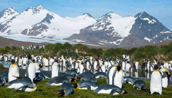 Sascha Wall Art - Photograph - King Penguin Colony by Sascha Grabow