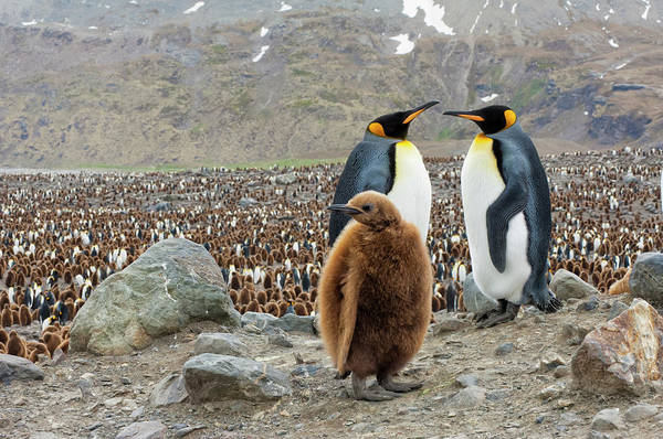 The Rookery Wall Art - Photograph - King Penguin Couple And Chick by Gabrielle Therin-weise