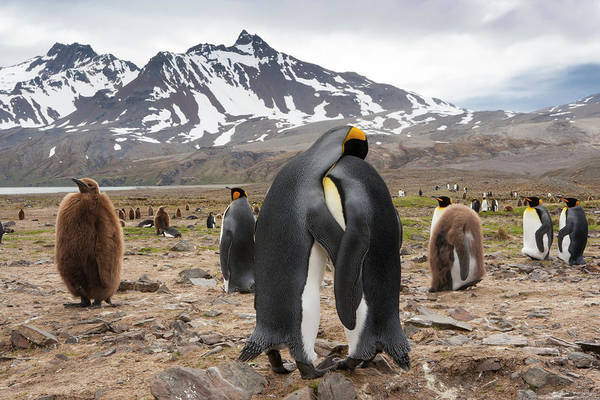 Vertebrate Photograph - King Penguins, Aptenodytes Patagonicus by Mint Images - Art Wolfe