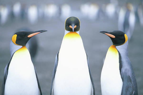 Coordination Wall Art - Photograph - King Penguins Aptenodytes Patagonicus by Paul Souders