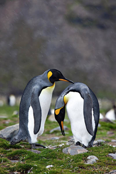 South Georgia Wall Art - Photograph - King Penguins Bonding On The Shores Of by Don Grall