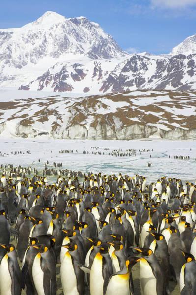 Wall Art - Photograph - King Penguins Congregate Along Frozen by Eastcott Momatiuk