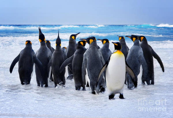 Falkland Island Wall Art - Photograph - King Penguins Heading To The Water In by Kwest