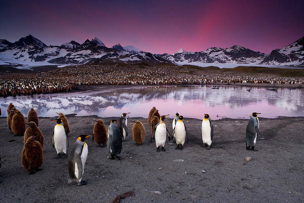 Photograph - King Penguins In A Breeding Colony by Mint Images - Art Wolfe