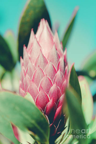 Photograph - King Protea Protea Cynaroides Sugar Bush by Sharon Mau