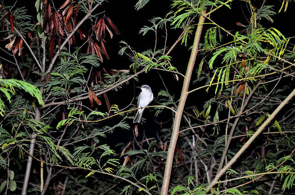 Photograph - Kingbird At Night by Climate Change VI - Sales