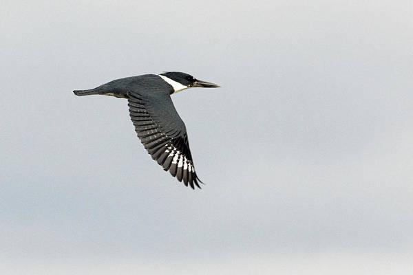 Photograph - Kingfisher 1042-011419 by Tam Ryan