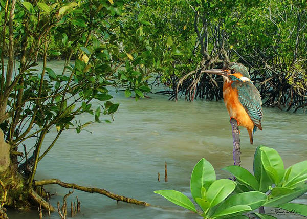 Wall Art - Digital Art - Kingfisher In The Mangroves by M Spadecaller