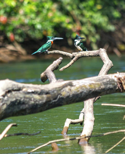Wall Art - Photograph - Kingfisher Pair Costa Rica Jungle by Betsy Knapp
