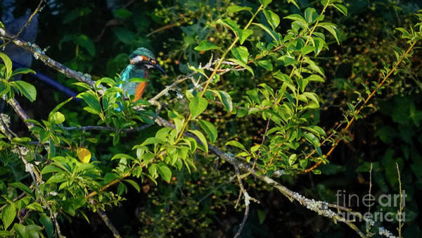 Photograph - Kingfisher Perched On A Branch by Pablo Avanzini