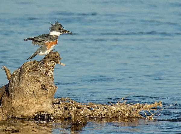 Photograph - Kingfisher With Catch by Judi Dressler