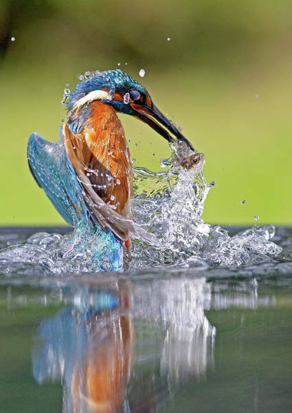 Taking Off Photograph - Kingfisher With Fish by Mark Hughes