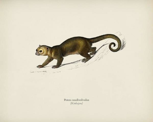 African Penguin Painting - Kinkajou  Potos Caudivolvultrated By Charles Dessalines D  Orbigny  1806 1876 by Celestial Images