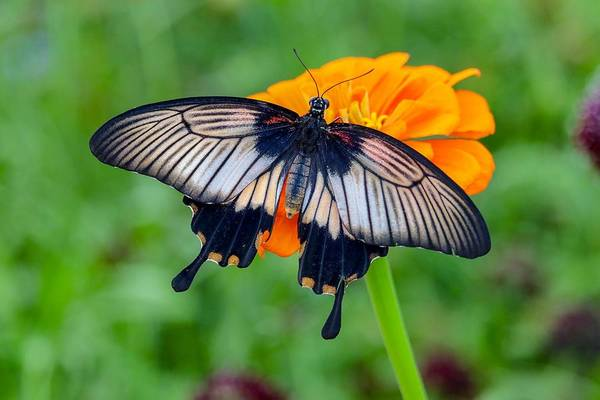 Photograph - Kite Swallowtail  by Susan Rydberg