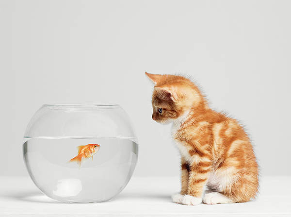 Wall Art - Photograph - Kitten Looking At Fish In Bowl, Side by Roger Wright