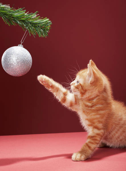 Playful Photograph - Kitten Playing With Christmas Bauble On by Martin Poole