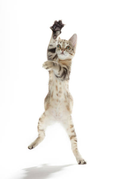 Photograph - Kitten Standing On Back Paws by Hollenderx2