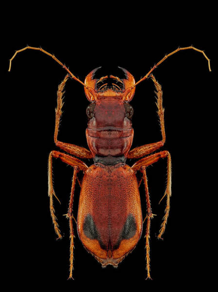 Photograph - Klug's Xanthine Amazonian Tiger Beetle by Gary Shepard
