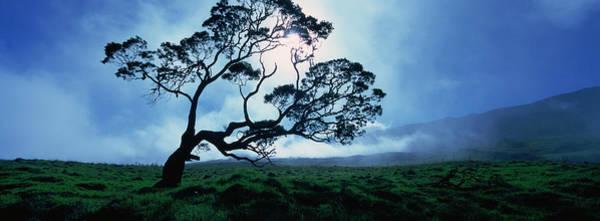 Wall Art - Photograph - Koa Tree On A Landscape, Mauna Kea by Panoramic Images