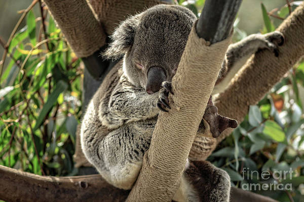 Photograph - Koala Bear by Edward Fielding