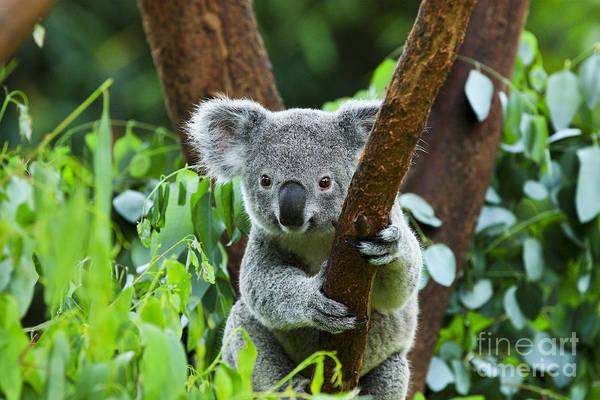 Fuzzy Wall Art - Photograph - Koala Bear In The Zoo by Rickyd