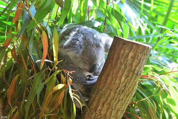 Photograph - Koala Bear Prayers by Lisa Wooten
