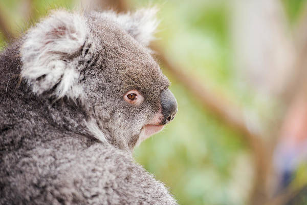 Photograph - Koala By Itself In A Tree by Rob D Imagery