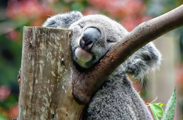 Photograph - Koala Catching Zs by Rick Lawler