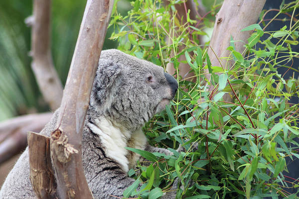 Photograph - Koala Eating by Dawn Richards
