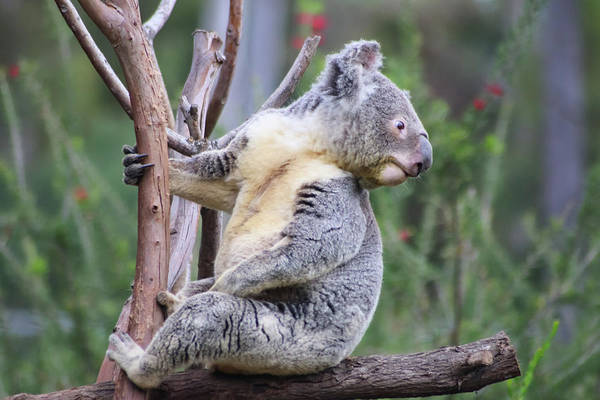 Photograph - Koala In Tree by Dawn Richards