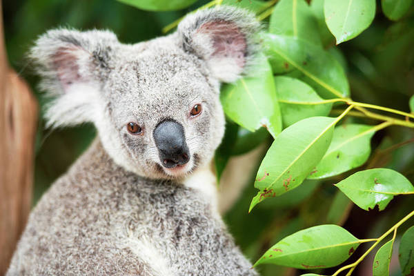 Photograph - Koala by Rob D Imagery