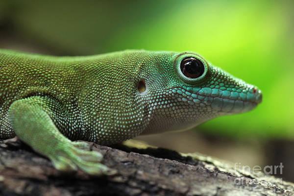 Wall Art - Photograph - Kochs Giant Day Gecko Phelsuma by Vladimir Wrangel