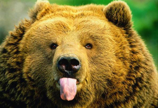 Wall Art - Photograph - Kodiak Brown Bear Ursus Arctos by Art Wolfe