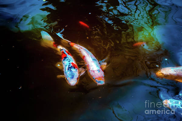Wall Art - Photograph - Koi Fish by Colleen Kammerer