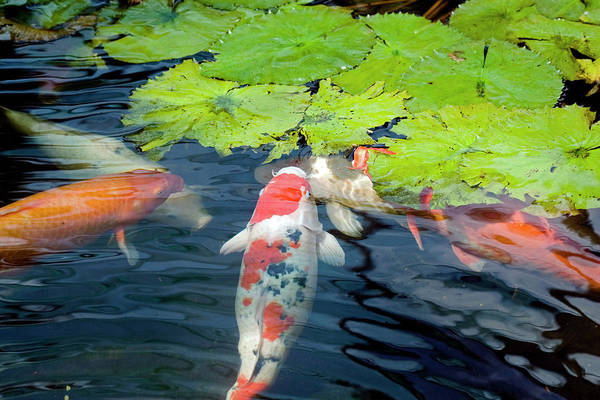 Fish Pond Photograph - Koi Fish Feeing On Lotus Leaves by Ayimages
