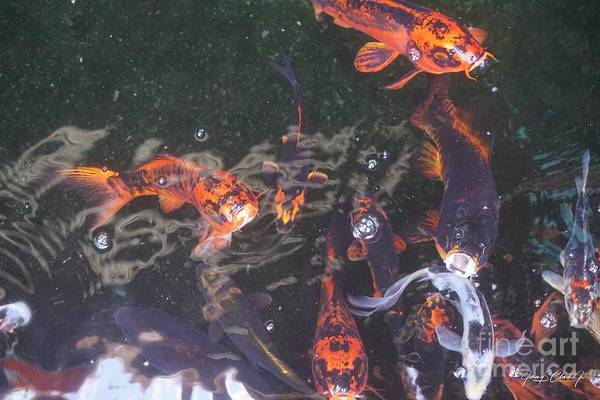 Photograph - Koi In A Pond by Jimmy Clark