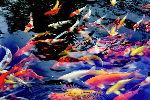 Hoi An Photograph - Koi Fish Pond Hoi An Vietnam by Tom Norring