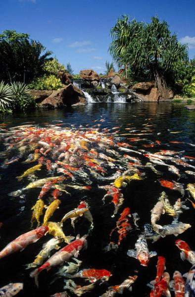 Fish Pond Photograph - Koi Pond At Hyatt Regency, Kauai, Hi by Michele Burgess