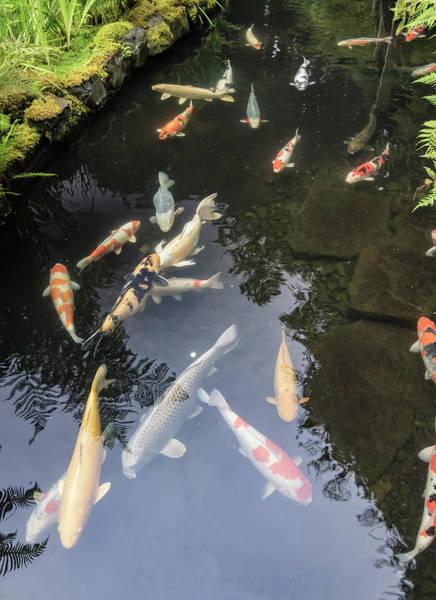 Wall Art - Photograph - Koi Pond, Portland Japanese Garden by William Sutton