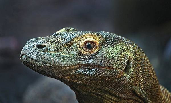 Photograph - Komodo Dragon by Steve DaPonte