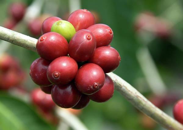 Big Island Photograph - Kona Coffee Plant by Moniquerodriguez
