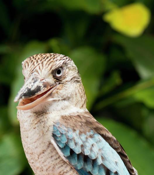 Photograph - Kookaburra Close Up. by Rob D Imagery