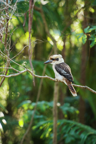Photograph - Kookaburra Outside During The Day. by Rob D Imagery
