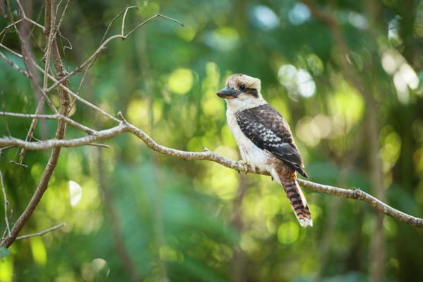 Photograph - Kookaburra by Rob D Imagery