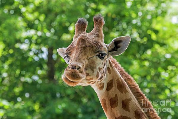 Photograph - Kordofan Giraffe by Arterra Picture Library