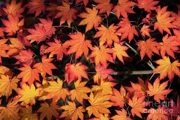 Photograph - Korean Maple Autumn Leaves by Tim Gainey