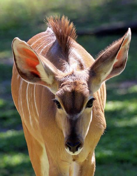 Photograph - Kudu Mohawk-cr1 by Jennifer Robin