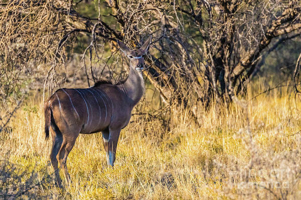 Photograph - Kudu, Namibia by Lyl Dil Creations