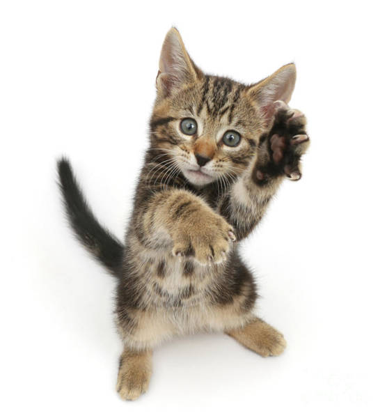 Photograph - Kung Fu Tabby Kitten by Warren Photographic